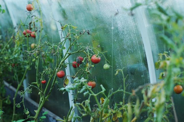 tomato-1180852_640