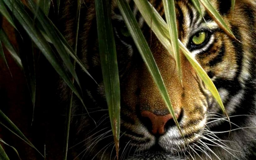 tiger-in-hd-wallpaper