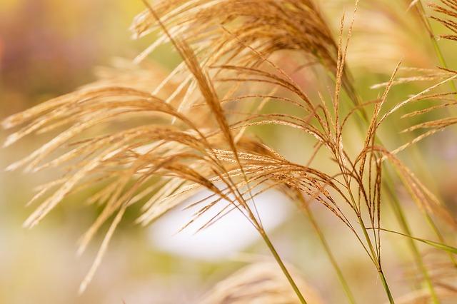 grasses-1220369_640